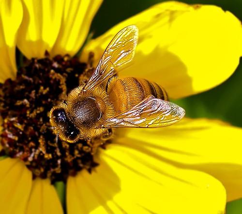 Honeybeebig