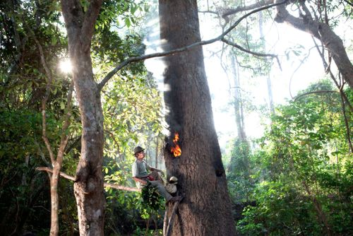 Man burning Tree in Prey Lang Forest