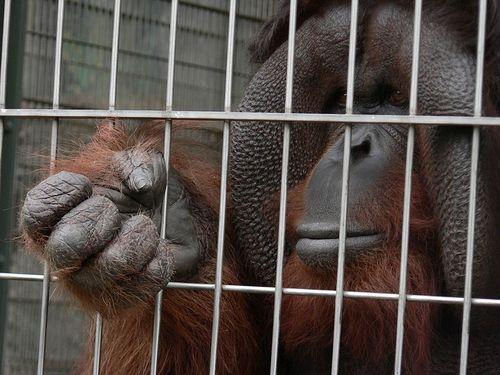 Bornean Orangutan Pongo pygmaeus at Tennouji Zoo, Japan