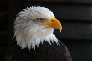 Bald-eagles-341898_1920