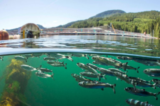 Salmon Picture